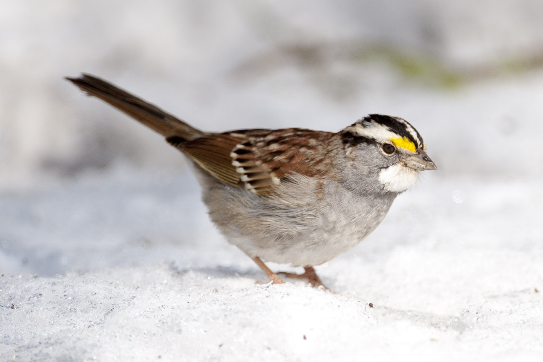 White-throated Sparrow