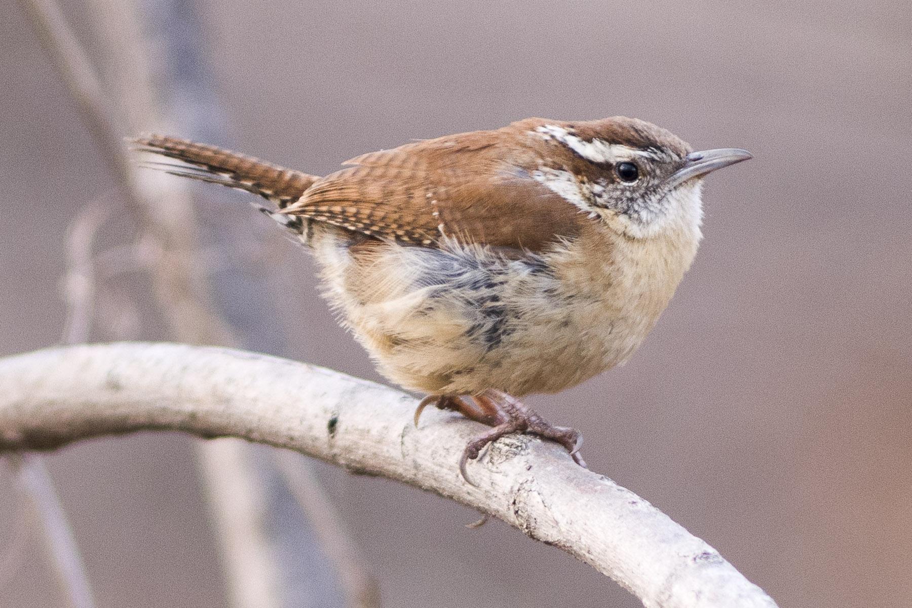 birdgenie | ID Birds by Song